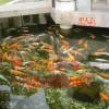 泰州市景观鱼池水处理。常年清澈见底!