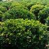 江苏红叶小檗球种苗——江苏造型树供应基地