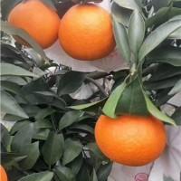 四川爱媛38号果粒橙批发|金色果地供