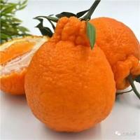 四川不知火丑橘批发代办|金色果地供
