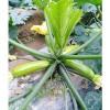 【LOOK!】抗病毒西葫芦种子【热销中】耐高温、产量高