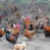 生态土鸡专卖|可信赖的生态土鸡经销商