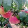 临沂果树苗木价格怎么样-订购果树苗木