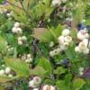 蓝莓树苗哪家好-想要易种植的蓝莓树苗就来北票市城关胜兴