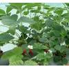 通化草莓苗培育 供应辽宁好种植的草莓苗