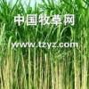 周全农业价格合理的甜象草供应-养羊养猪牧草
