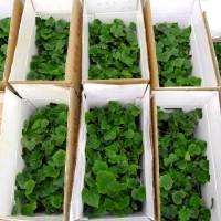 临沧育黄瓜嫁接苗基地 现在种黄瓜苗品种