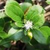 沈阳苍术苗种植-报价合理的苍术苗推荐