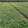 地被月季基地%%%地被月季小苗基地%%%地被月季种植基地