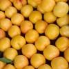 黄珊瑚油桃种植基地|品种好的黄珊瑚油桃推荐
