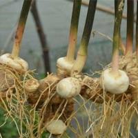 湖北鑫希望生态农业黄精种植,和农户转动财富的大门