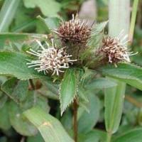 湖北鑫希望生态农业苍术种植,享受生活顺应时代潮流